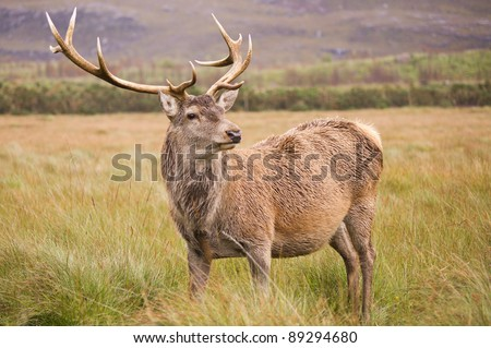 Red Deer Stag (cervus elaphus) in field / Stag in field standing proud and alert - stock photo