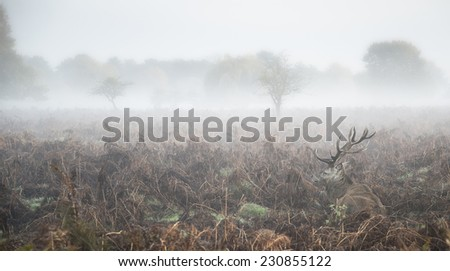 Red deer stag in foggy Autumn landscape - stock photo