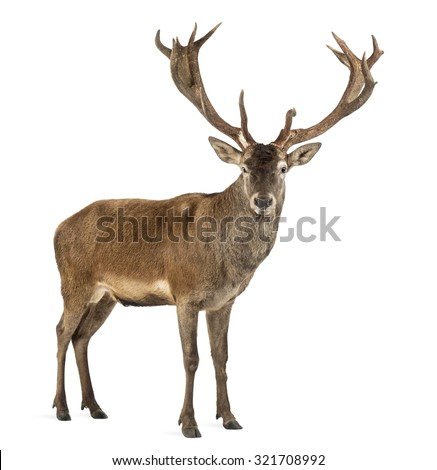 Red deer stag in front of a white background - stock photo