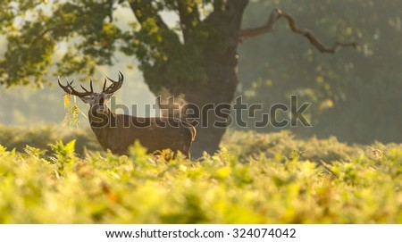 Red deer stag in the bracken calling out