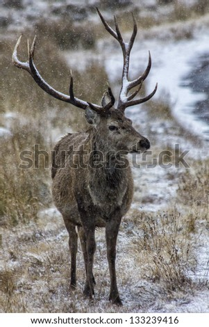 Red deer stag in the snow. A stag with twelve pointed antlers stands in the snow beside a frozen Scottish loch in a highland glen. - stock photo