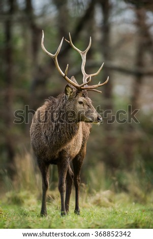 Red deer stag looking around in a forest clearing