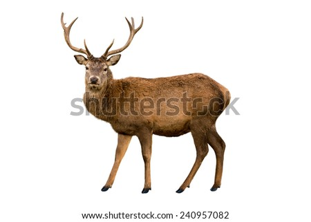Red deer stag looking at camera isolated on white.