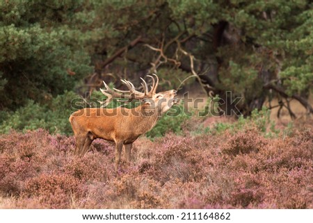 Red deer stag troating during mating season
