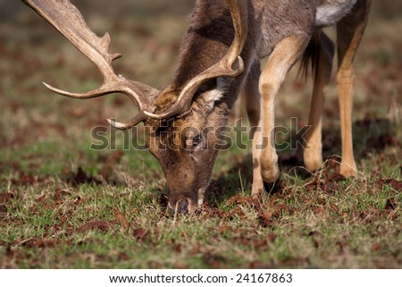 Red Deer Stage Male