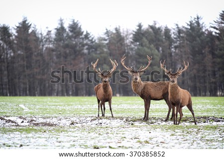 Red Deer Stags (Cervus elaphus) in the Scottish Winter Snow - stock photo