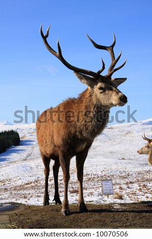 Red Deer Stags down in the Scottish Glens for food - stock photo