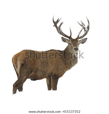 Red deer standing in snow isolated on white