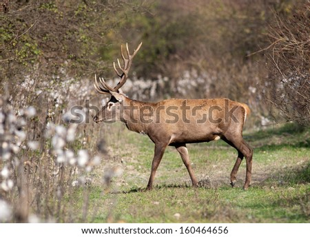 Red deer walks on meadow - stock photo