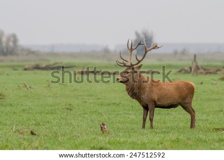 Red deer with antlers standing - stock photo