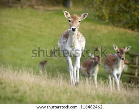 Red deers - stock photo