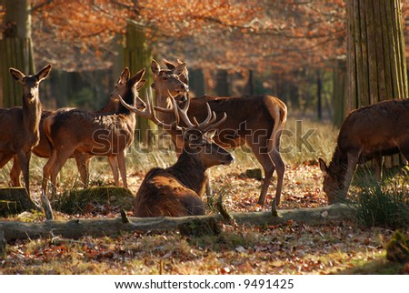 Red deers in the autumnal wood - stock photo