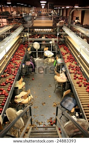Red Delicious apples on sorting line tables - stock photo