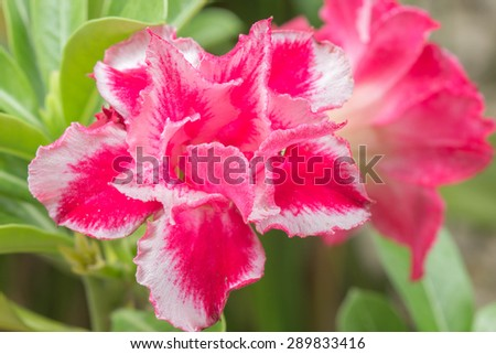 Red Desert rose blooming in the garden - stock photo
