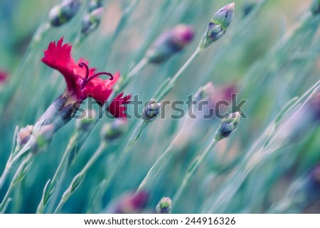 Red dianthus flowers close up in a garden in springtime with cross processed filtered effect - stock photo