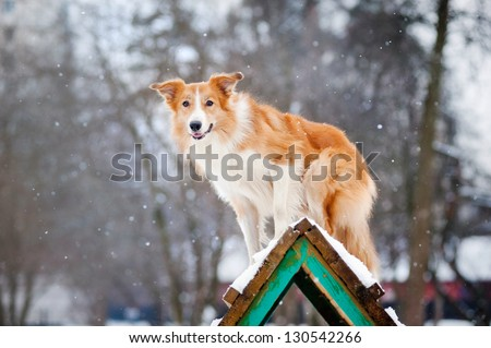 Red Dog border collie training in winter - stock photo