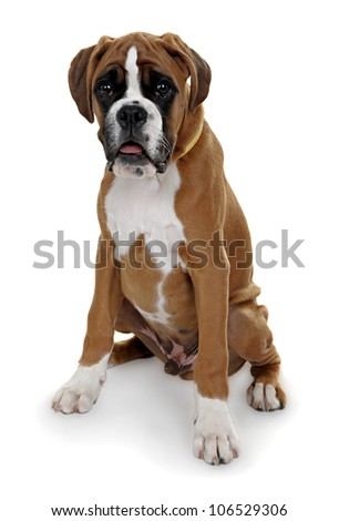 red dog breed boxer shot in the Studio on a white background. - stock photo