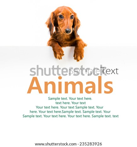 red dog breed dachshund and white board with sample text - stock photo
