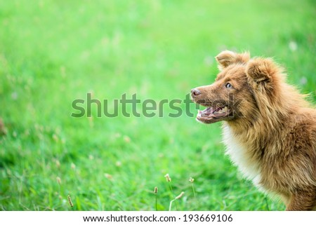 Red dog on the green summer grass. - stock photo