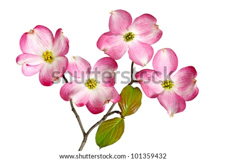 Red Dogwood Blossom flowers isolated on white background - stock photo
