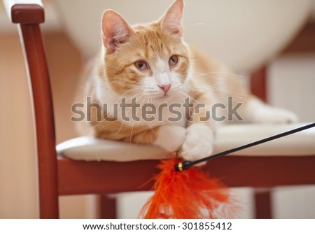 Red domestic cat on a chair with a toy.