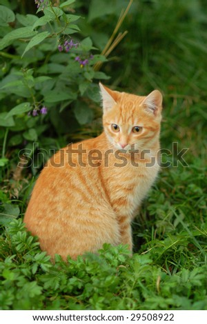 red domestic cat sitting in the grass