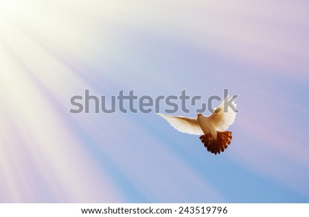 Red dove flying iin the rays of light on background blue sky