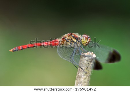 Red dragonfly in Japan