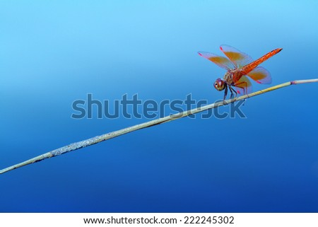 red dragonfly on blue background