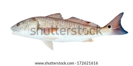 Red drum, Redfish   (Sciaenops ocellatus) on a white background - stock photo