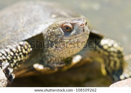 red ear tortoise close up