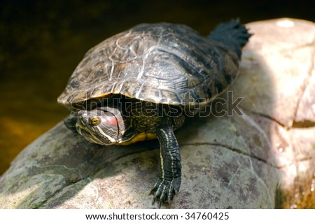red-eared slider close-up - stock photo