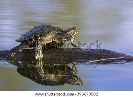 Red-eared slider (Trachemys scripta elegans) sunbathing in a lake, Brazos Bend State Park, Needville, texas, USA