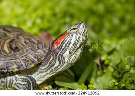 Red eared slider - Trachemys scripta elegans, Turtle head portrait in nature enviroment - stock photo