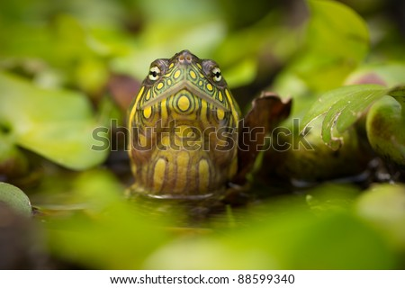 red eared slider turtle in the wild, surrounded by typical flora and looking with curiousity to the camera - stock photo