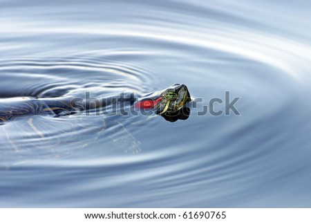Red Eared Turtle in Water