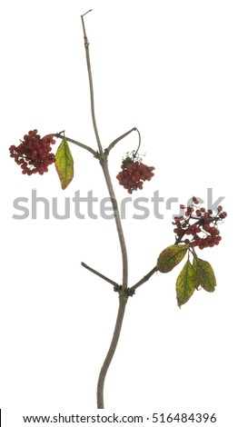 Red elderberry, Sambucus racemosa twig with red berries isolated on white background