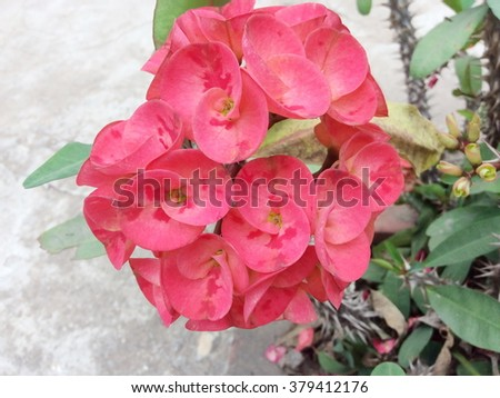 Red euphorbia milii flowers blooming,Christ thorn,Poi sian flowers