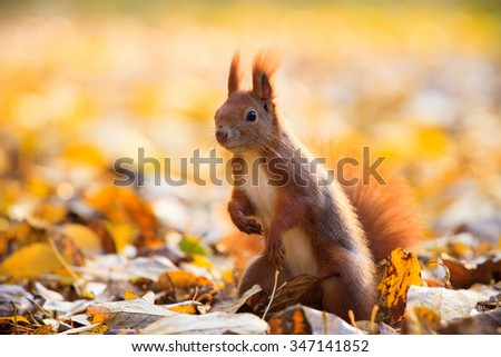 Red eurasian squirrel in Warsaw park - stock photo
