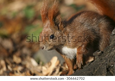 Red Eurasian squirrel on the tree - stock photo