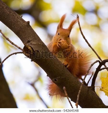 Red euroasian squirrel on the branch - stock photo