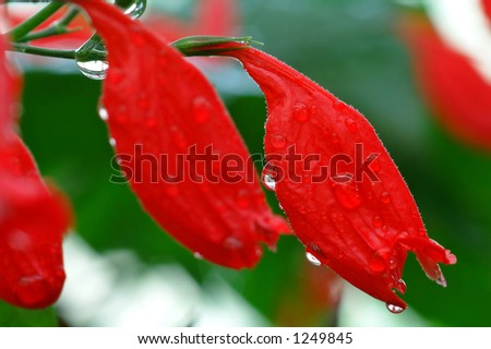 Red exotic flowers after rain