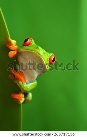 Red eye frog (agalychnis callidryas)