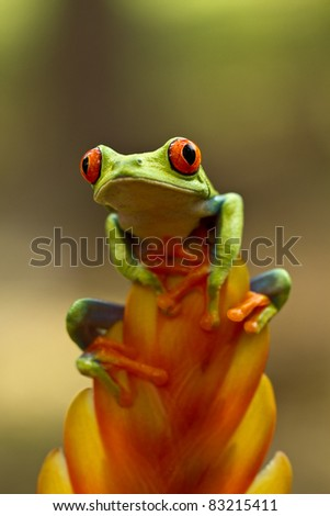 Red eye tree frog - stock photo