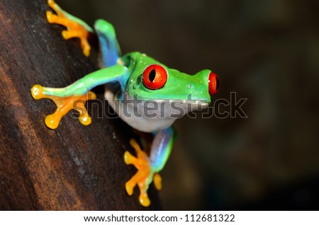 red-eye tree frog  Agalychnis callidryas in terrarium - stock photo