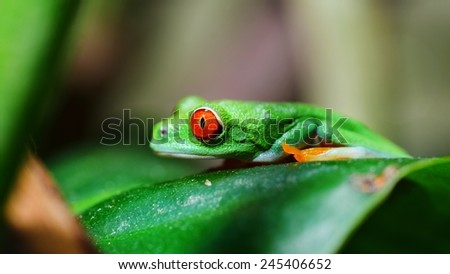 red-eye tree frog  Agalychnis callidryas in terrarium - stock photo