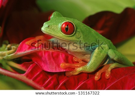 Red Eye Tree Frog climbing Red Leaves