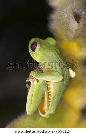 Red Eye Tree Frog, hanging - stock photo