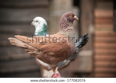 Red eyed fawn domestic pigeon stands on wooden fence in the farm - stock photo