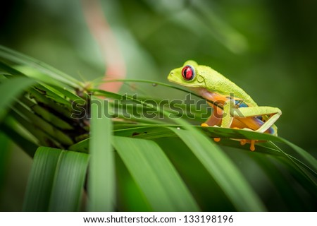 Red eyed green tree frog sitting on green foliage - profile view - stock photo